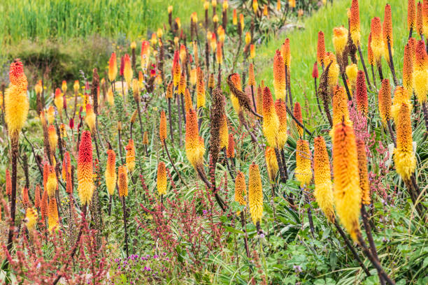 Red hot poker flowers and a stream in the Ethiopian highlands stock photo