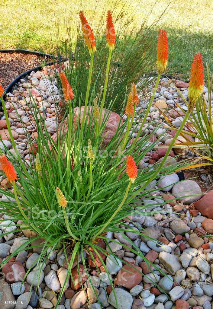 Red Hot Poker flowers in rock garden in Rockville Utah stock photo