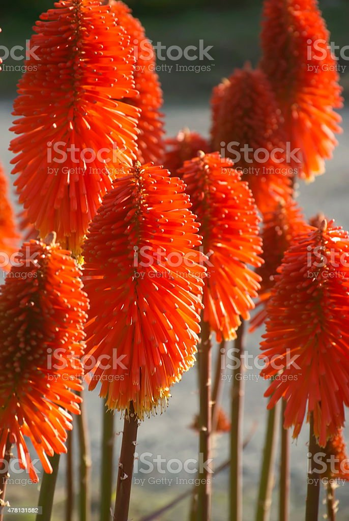 'Red Hot Poker' or Torch Lily (Kniphofia Uvaria) stock photo