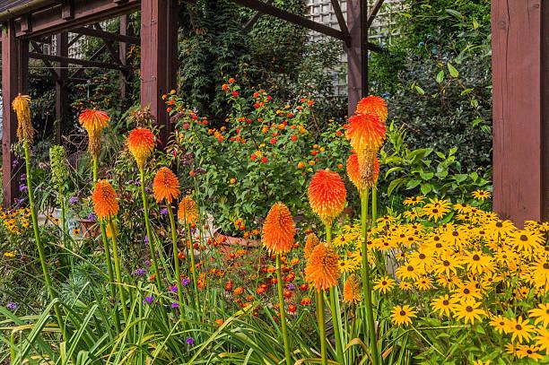 red hot poker - torch lily stockfoto's en -beelden