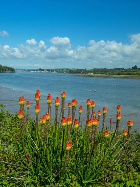 red hot poker plant langs de kust pad - torch lily stockfoto's en -beelden