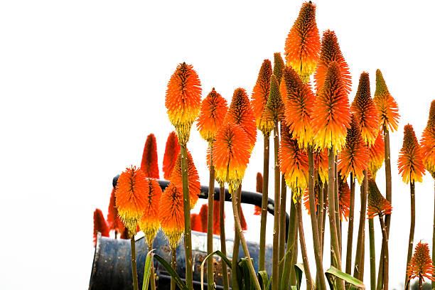 red hot pokers - torch lily stockfoto's en -beelden