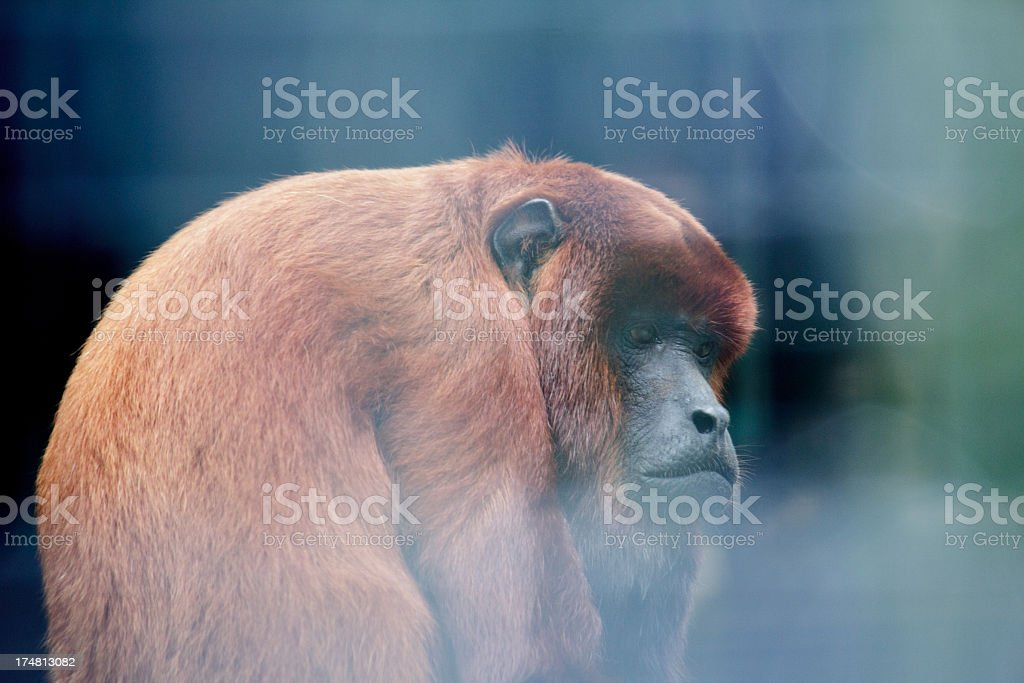 Red Howler Monkey royalty-free stock photo