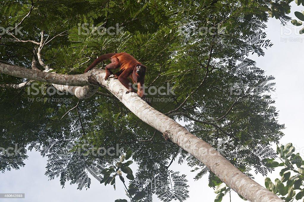 Roter Brüllaffe – Foto