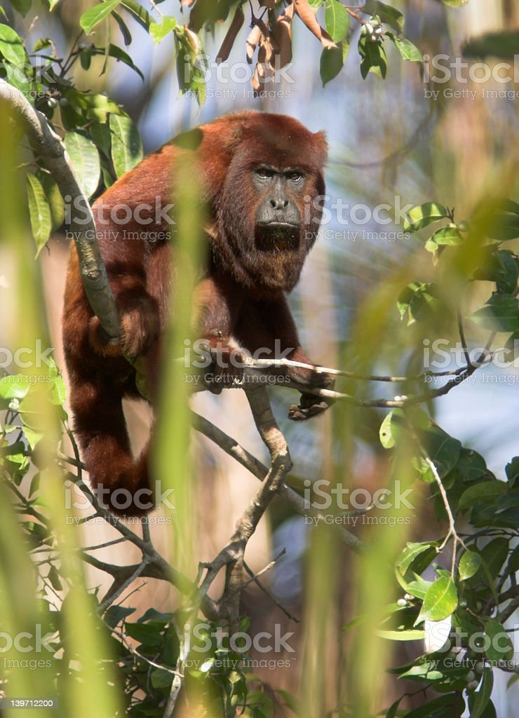 Red Howler royalty-free stock photo