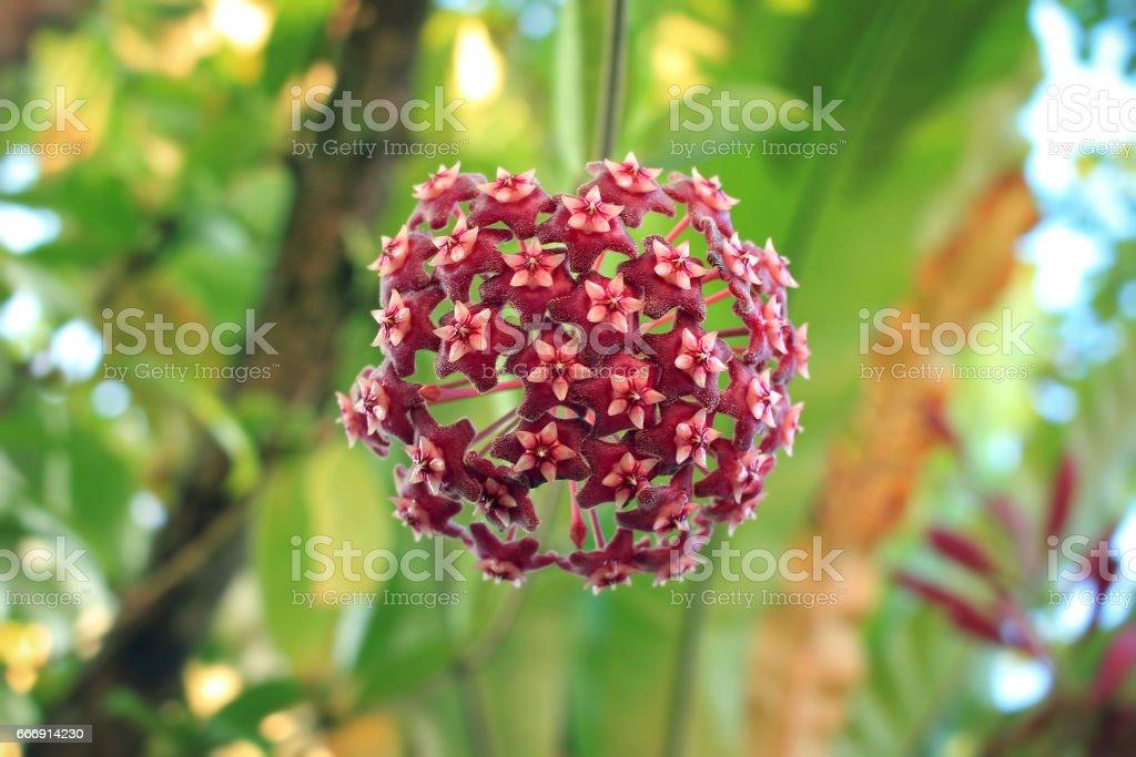 Red hoya flower in rain forest stock photo