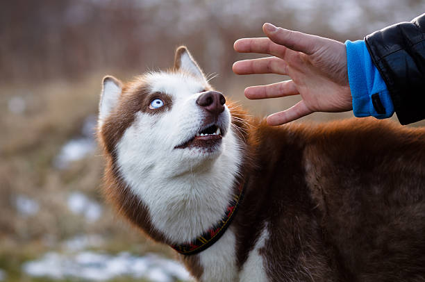 Red husky and hand of man