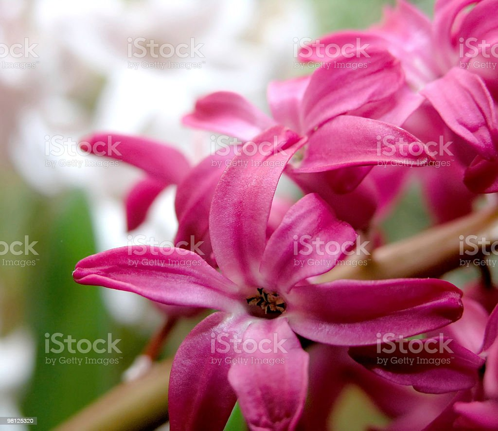 red hyacinth royalty-free stock photo