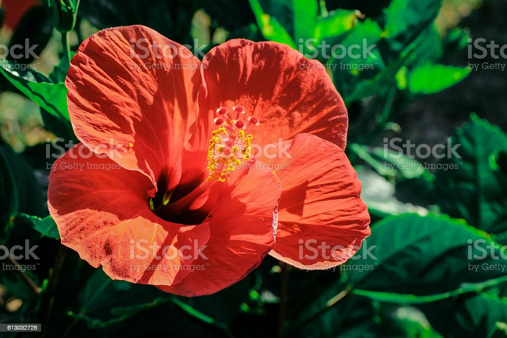 red hybiscus flower stock photo