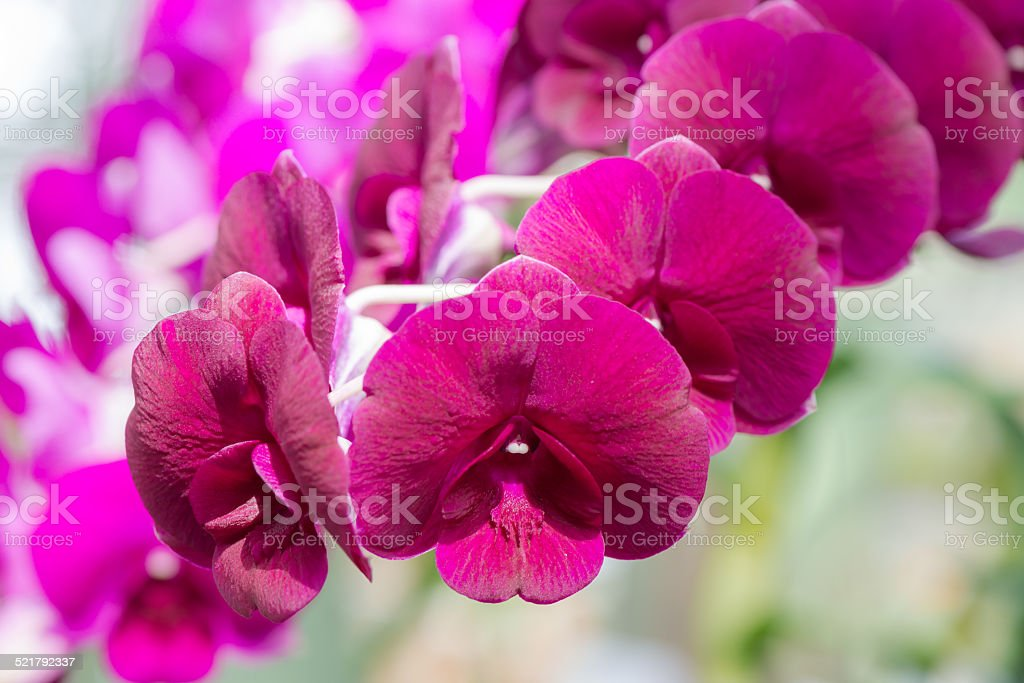 red hybrid Dendrobium orchid flower stock photo