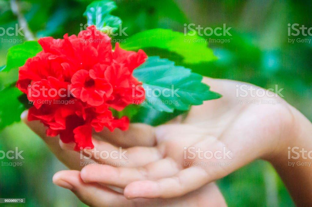 Fleur Dhibiscus Rosasinensis Rouge Hybride Aussi Appele Hibiscus