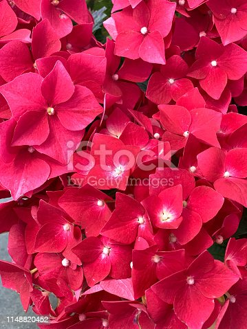 close-up of red hydrangea