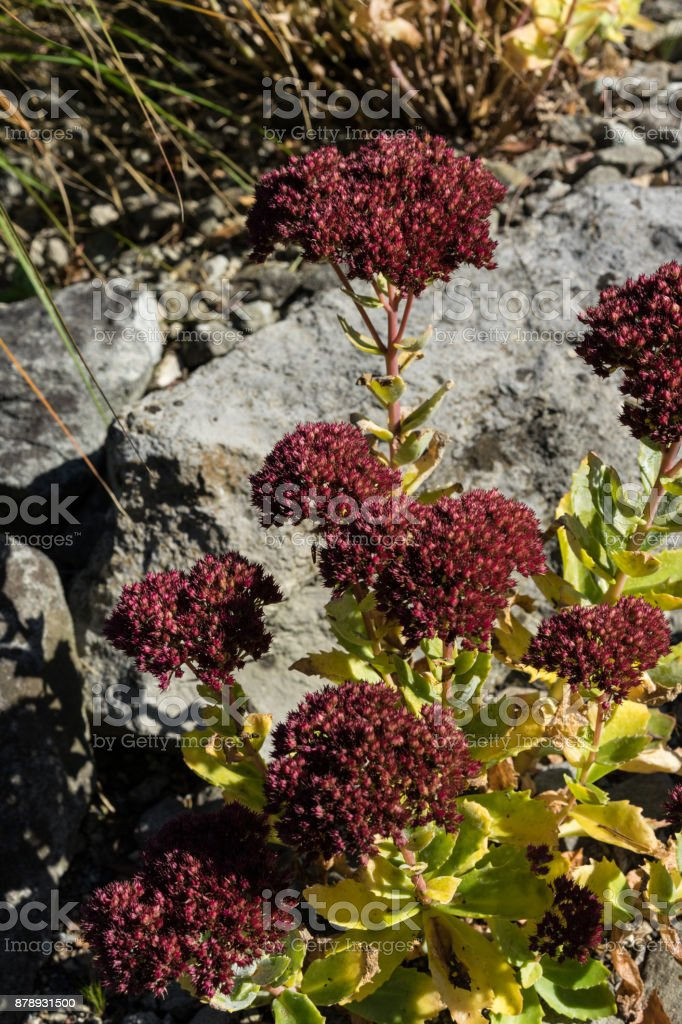 red hylotelephium succulent plant with stone in the background stock photo