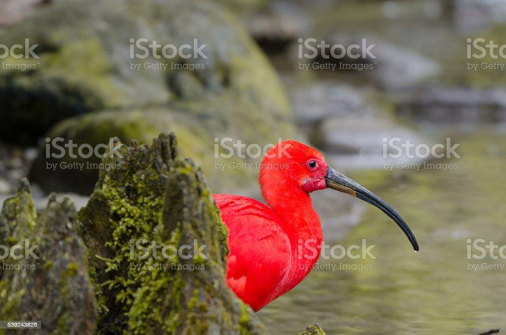 Ibis rojo  foto de stock libre de derechos