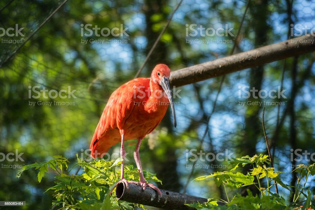 Red Ibis (cattle egret) staying on branch stock photo