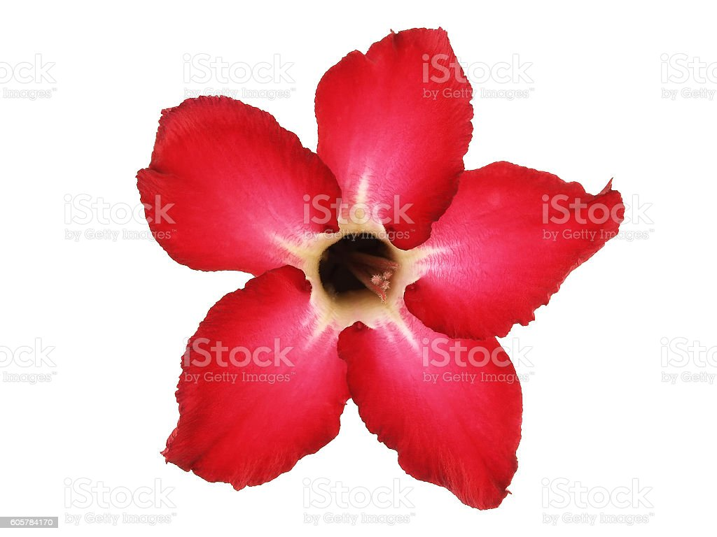 red Impala Lily flower (Desert Rose) stock photo