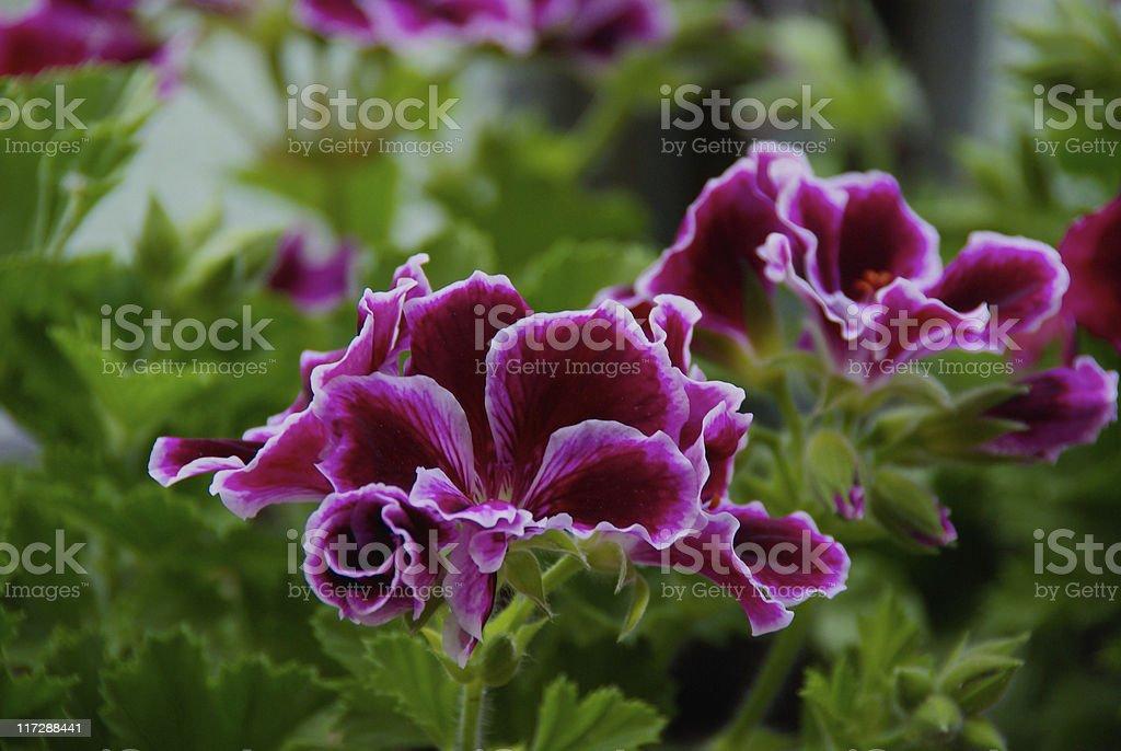 Red Imperial Geranium, Geranio Imperiale Rosso, Geraneo Royalty Free Stock  Photo