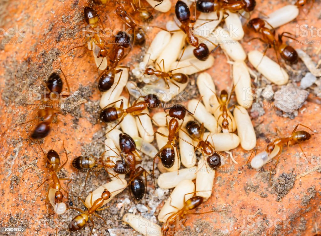 Red imported fire ants (Solenopsis invicta) or simply RIFA take care their eggs stock photo