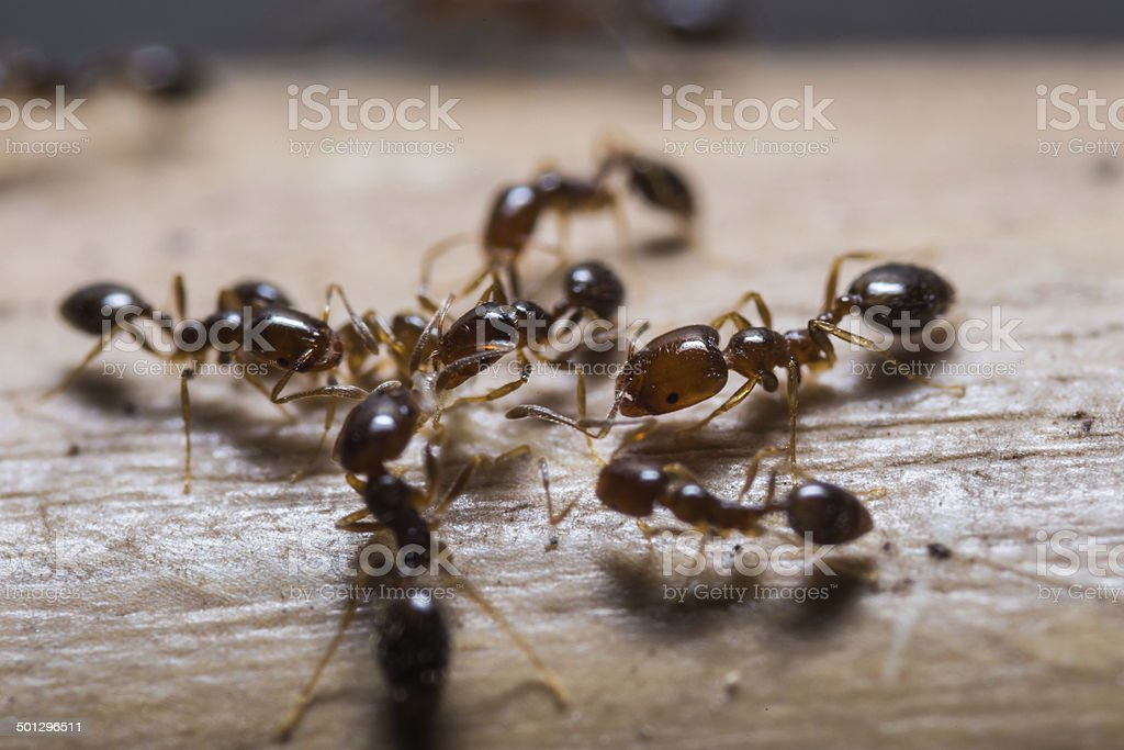 Red imported fire ants stock photo