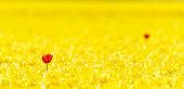 Two red Tulips in a field of yellow blossoming bright Tulips in Holland. Focus on the red tulip on the left of the image.