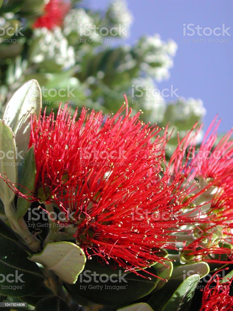 Inflorescencia Roja De Feijoa Sellowiana Foto De Stock Y Más Banco