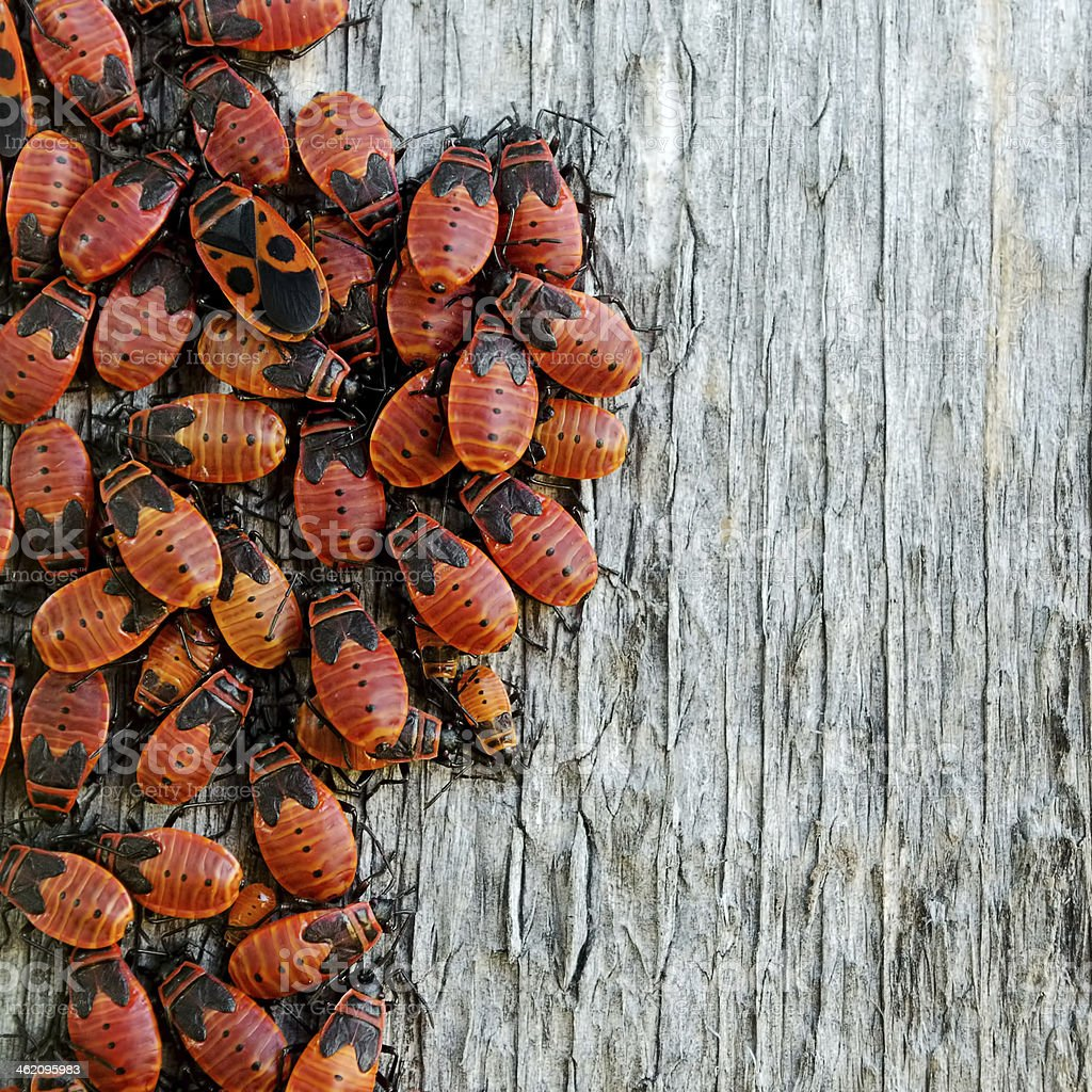 Red insects royalty-free stock photo