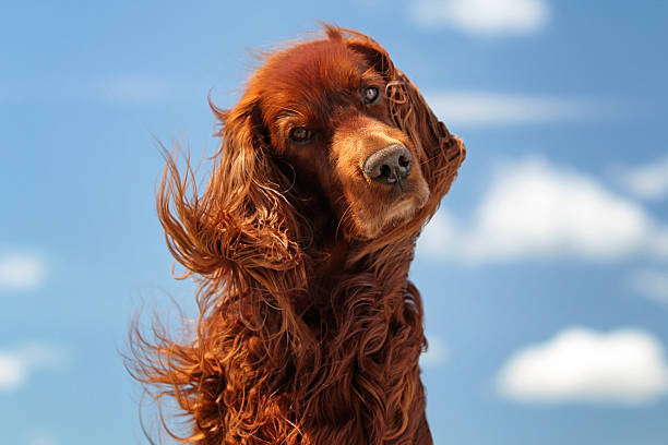 Red irish setter dog turn head Red irish setter dog turn head on blue sky with clouds irish setter stock pictures, royalty-free photos & images