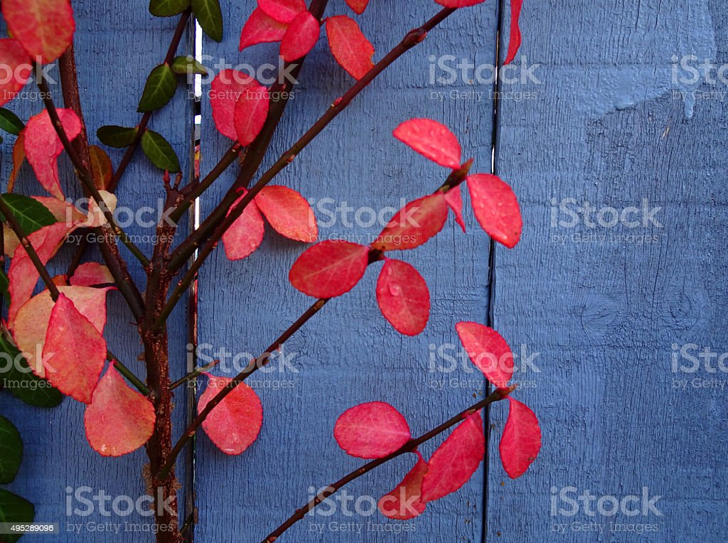 Red Ivy, Blue Fence stock photo