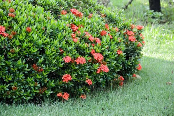rode ixora zwam bloem in natuur tuin - pauwenkers stockfoto's en -beelden