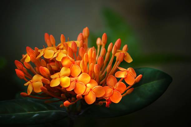 Red ixora coccinea flowers tropical orange flower picture id466173807?b=1&k=6&m=466173807&s=612x612&w=0&h=7fsihkvecveqw8ngwernmidd9ukkvucvqf52bawbx3a=