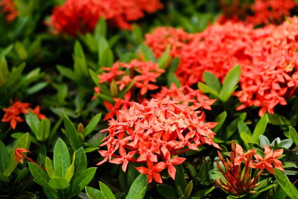 rode ixora bloeiende plant - pauwenkers stockfoto's en -beelden