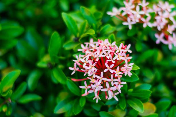 rode ixora bloemen met groene bladeren in het park - pauwenkers stockfoto's en -beelden