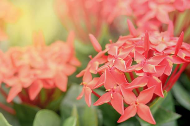 red ixora spike bloem. koning ixora bloeiende ixora coccinea bloem in de tuin. ondiepe dof. - pauwenkers stockfoto's en -beelden
