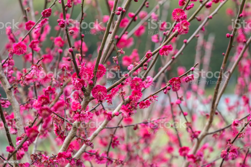 Red Japanese apricot blossom stock photo
