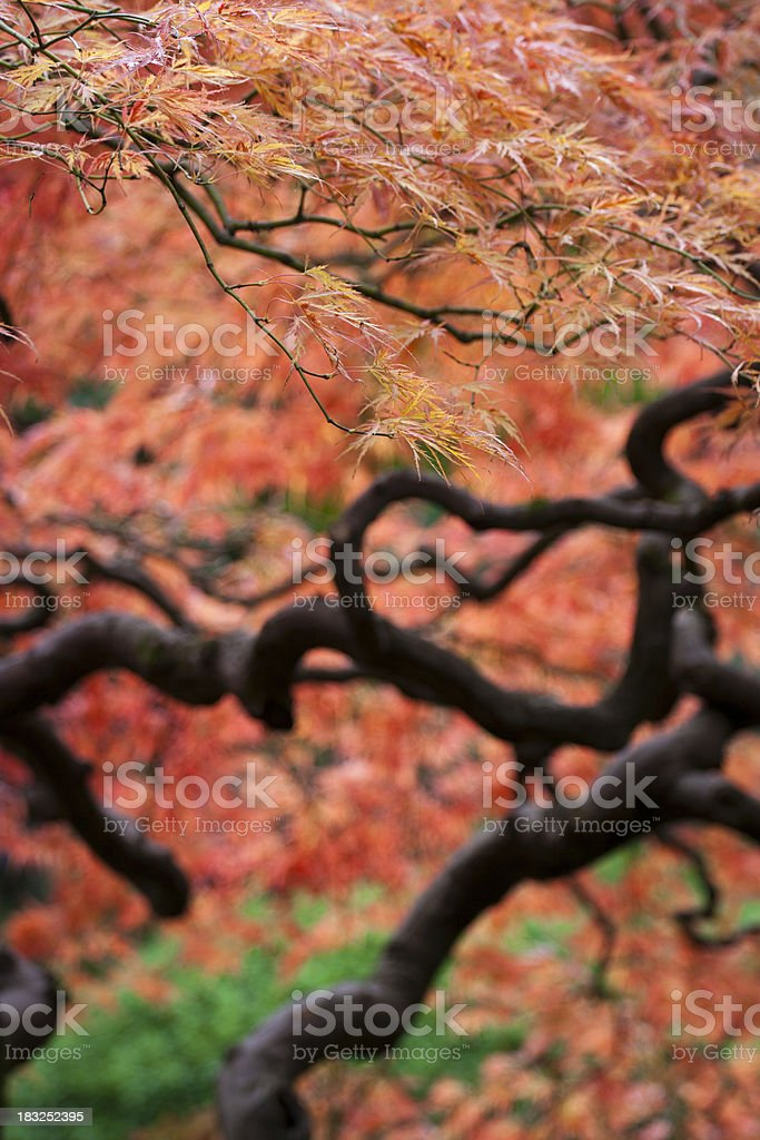 Red Japanese Maple Abstract royalty-free stock photo