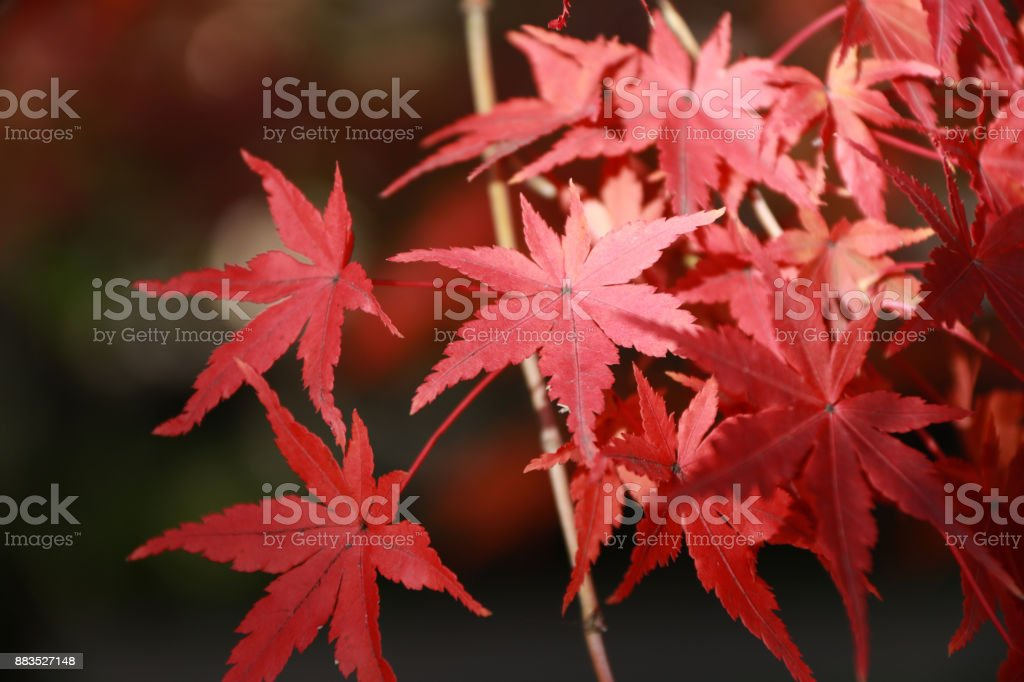 The leaves change color from green to yellow, orange and red in...