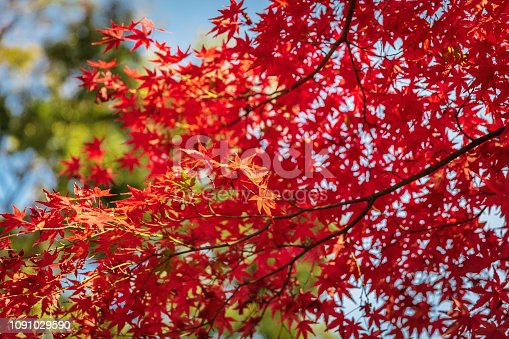 Beautiful Red Japanese Maple Tree Leaves in the Autumn Sun, Kyoto, Japan, Asia