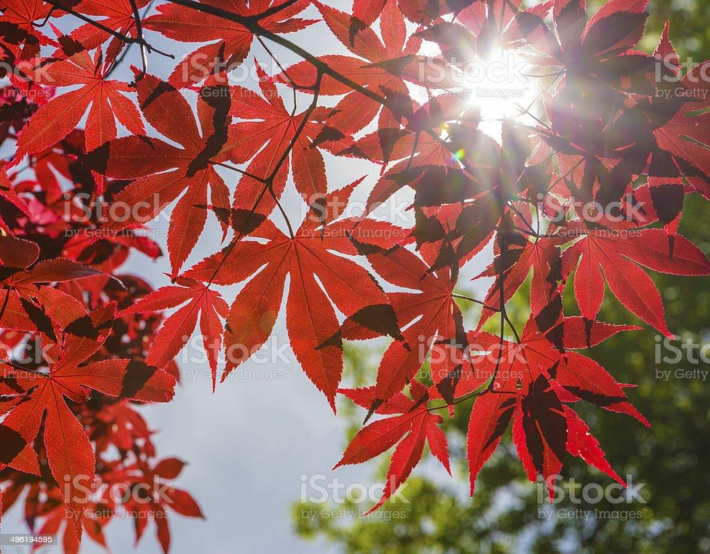 Acero Blu Giapponese foglie di acero giapponese rosso foglia contro il cielo blu