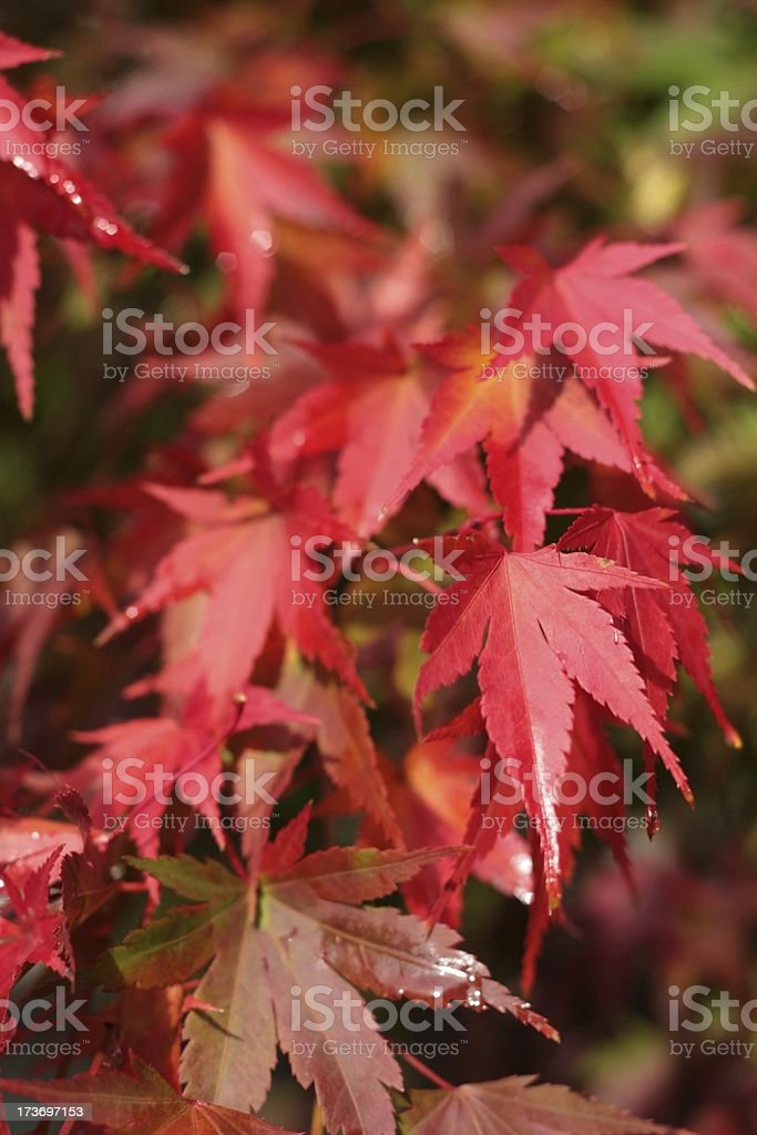 Red Japanese Maple Leaves royalty-free stock photo