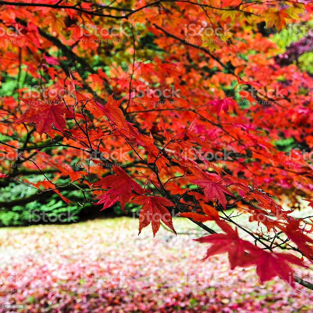 Red Japanese Maple or Acer. royalty-free stock photo