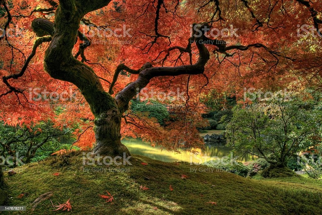 Red Japanese Maple Tree in Autumn royalty-free stock photo