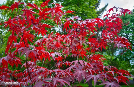 Red Japanese Maple tree with vibrant green leaves behind it. Contrasting colors.