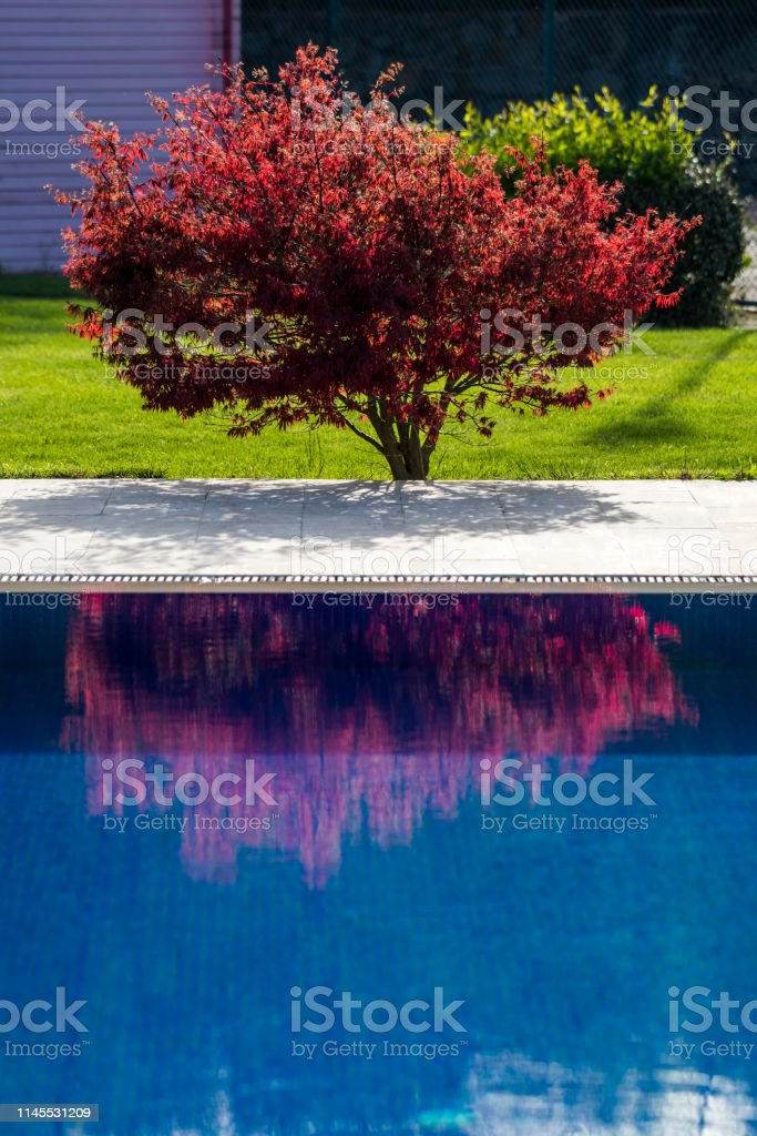 Red Japanese tree at the edge of swimming pool and reflection in water