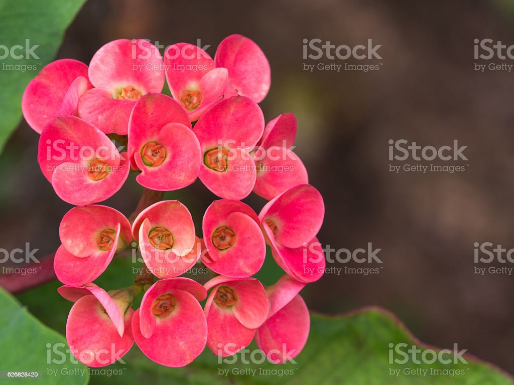 Red Jasmine Flowers Blooming Stock Photo More Pictures Of Beauty