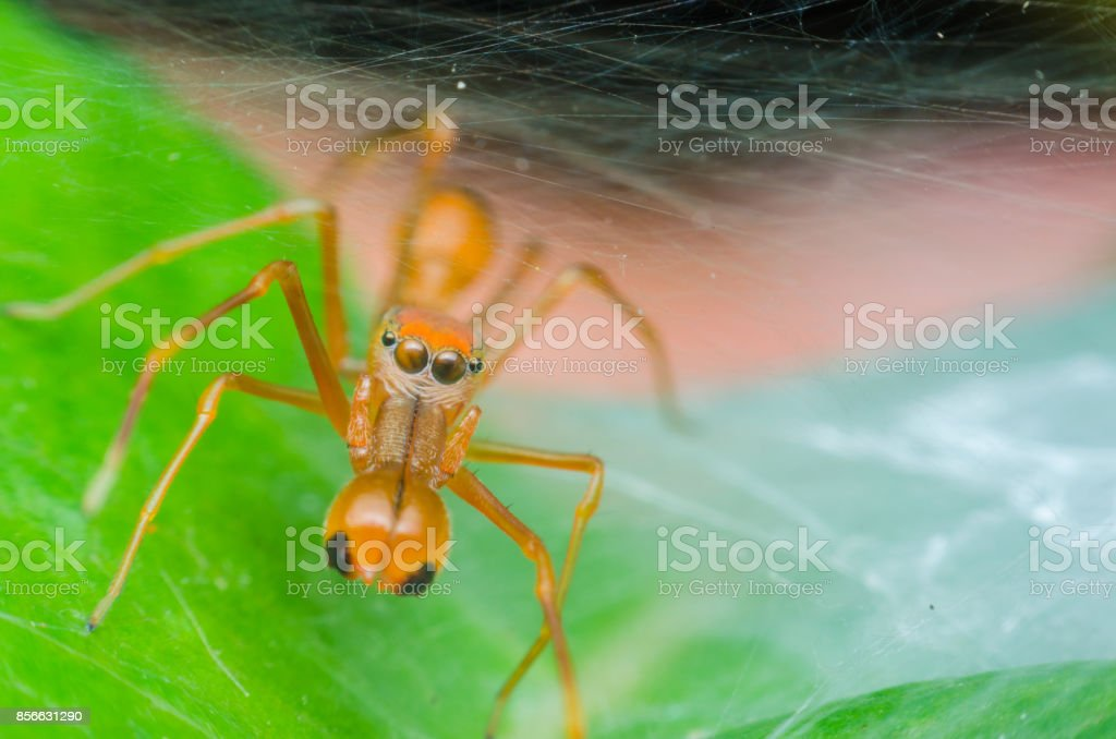 Red jumping spider on green leaves in to the web in natural the spider look like red ant. stock photo