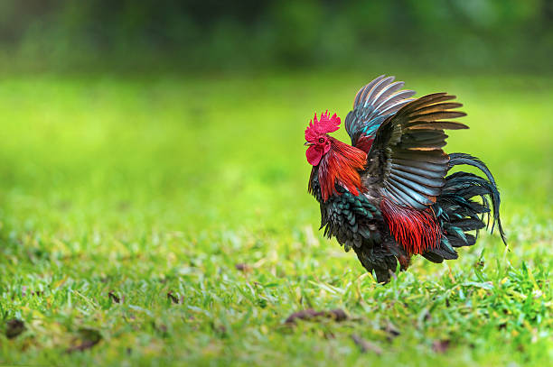 red junglefowl ( gallus gallus ) male flapping wings - coq photos et images de collection