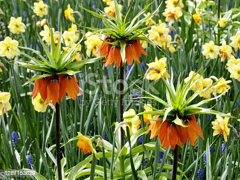istock Red Kaiser's, crown lily Fritillaria imperialis 1287153629