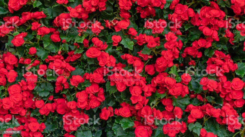 Photo libre de droit de Fleur Rouge De Blossfeldiana De ...