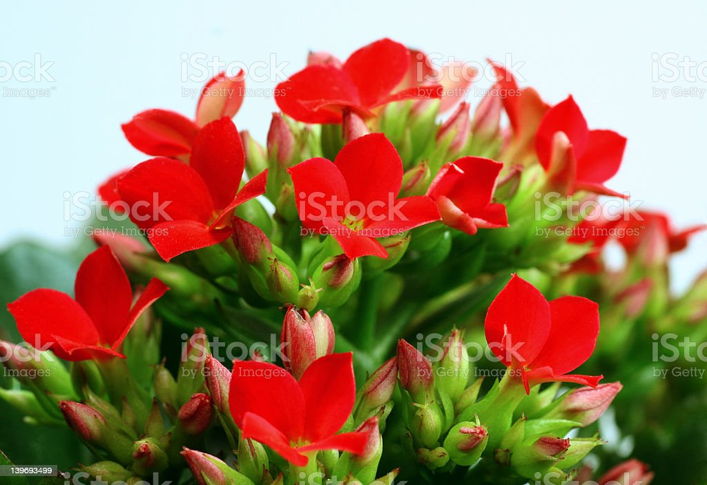 red kalanchoes royalty-free stock photo
