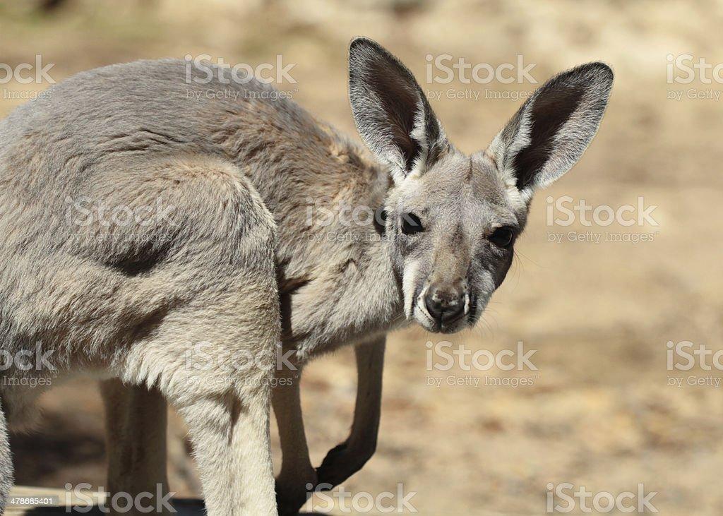 Red Kangaroo baby stock photo